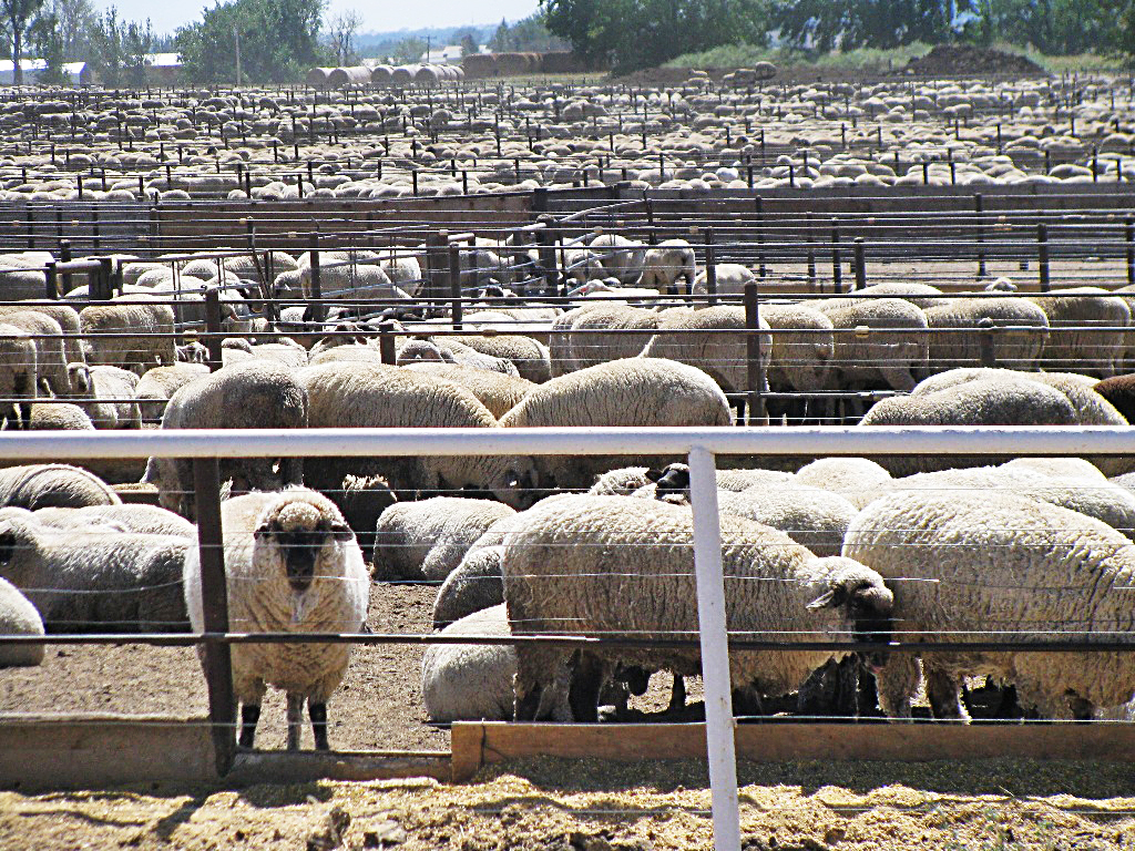 Many Opportunities for Marketing Lamb