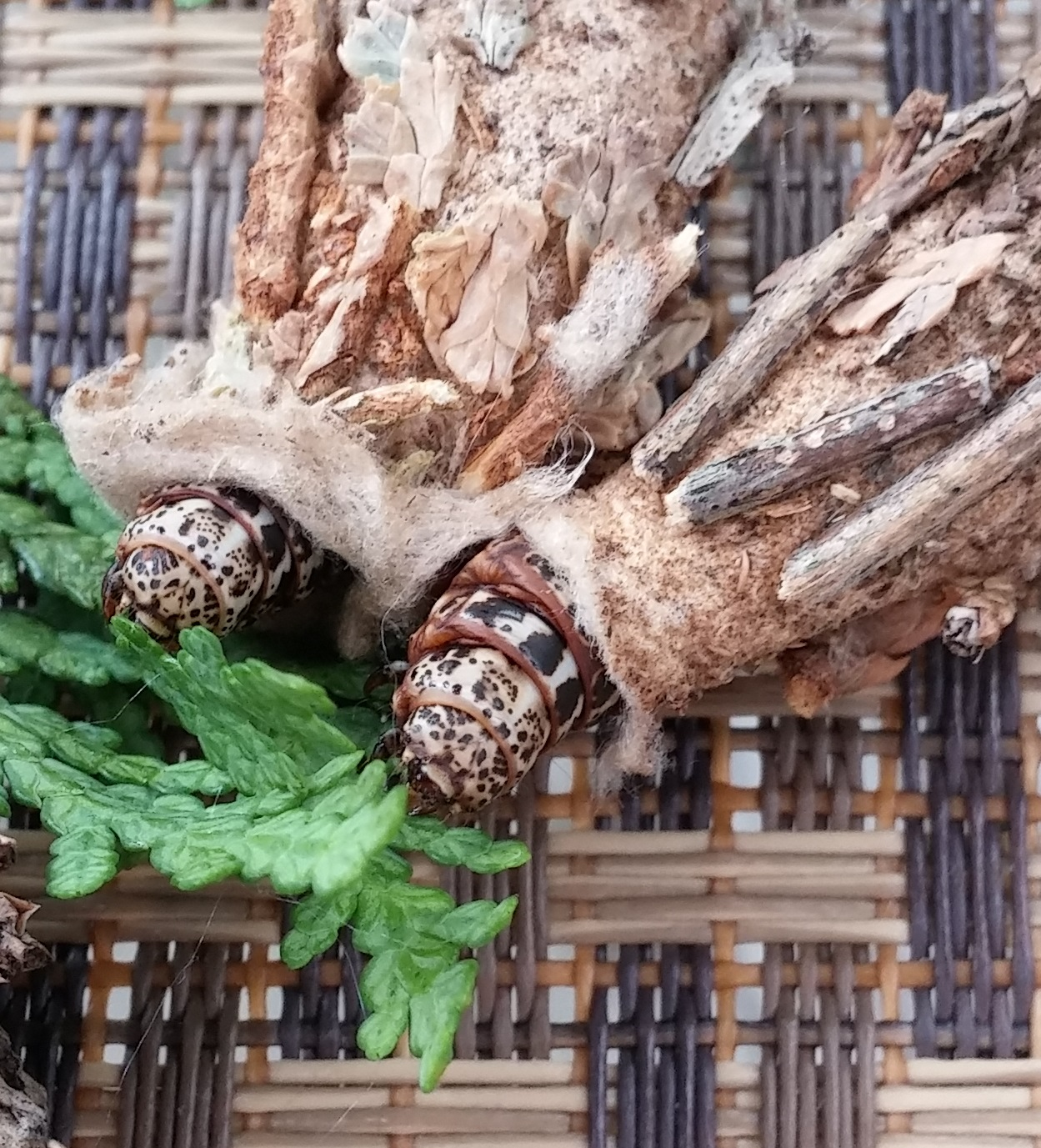 How to Get Rid of Bagworms