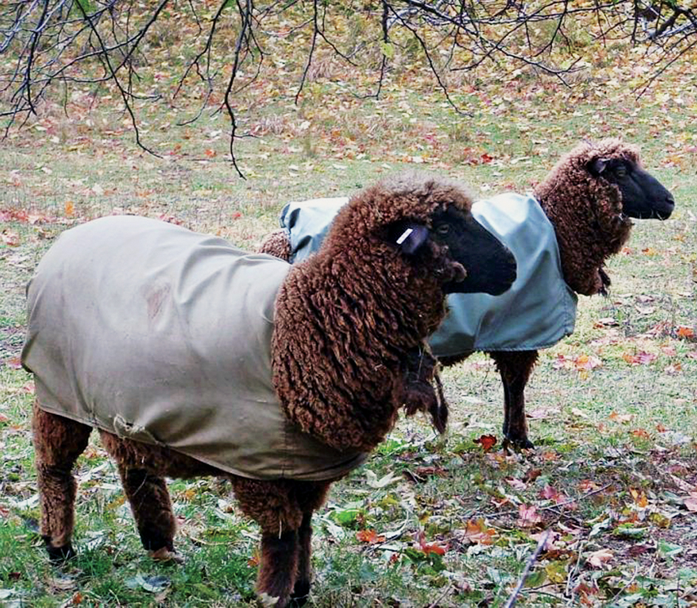 Sheep Breeds That Pay Their Way - Countryside