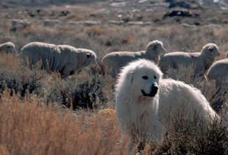Livestock Guardian Dogs & Barking