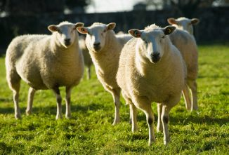 Best Dairy Sheep Breeds for a Farm