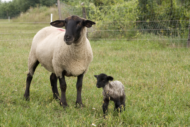 suffolk-sheep