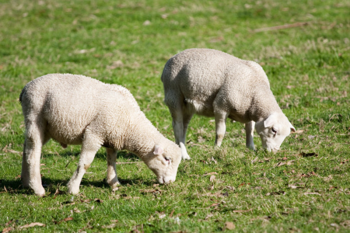 The Dorper Sheep: A Hardy Adaptable Breed