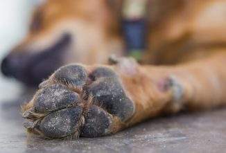 Treating a Dog Paw Pad Injury