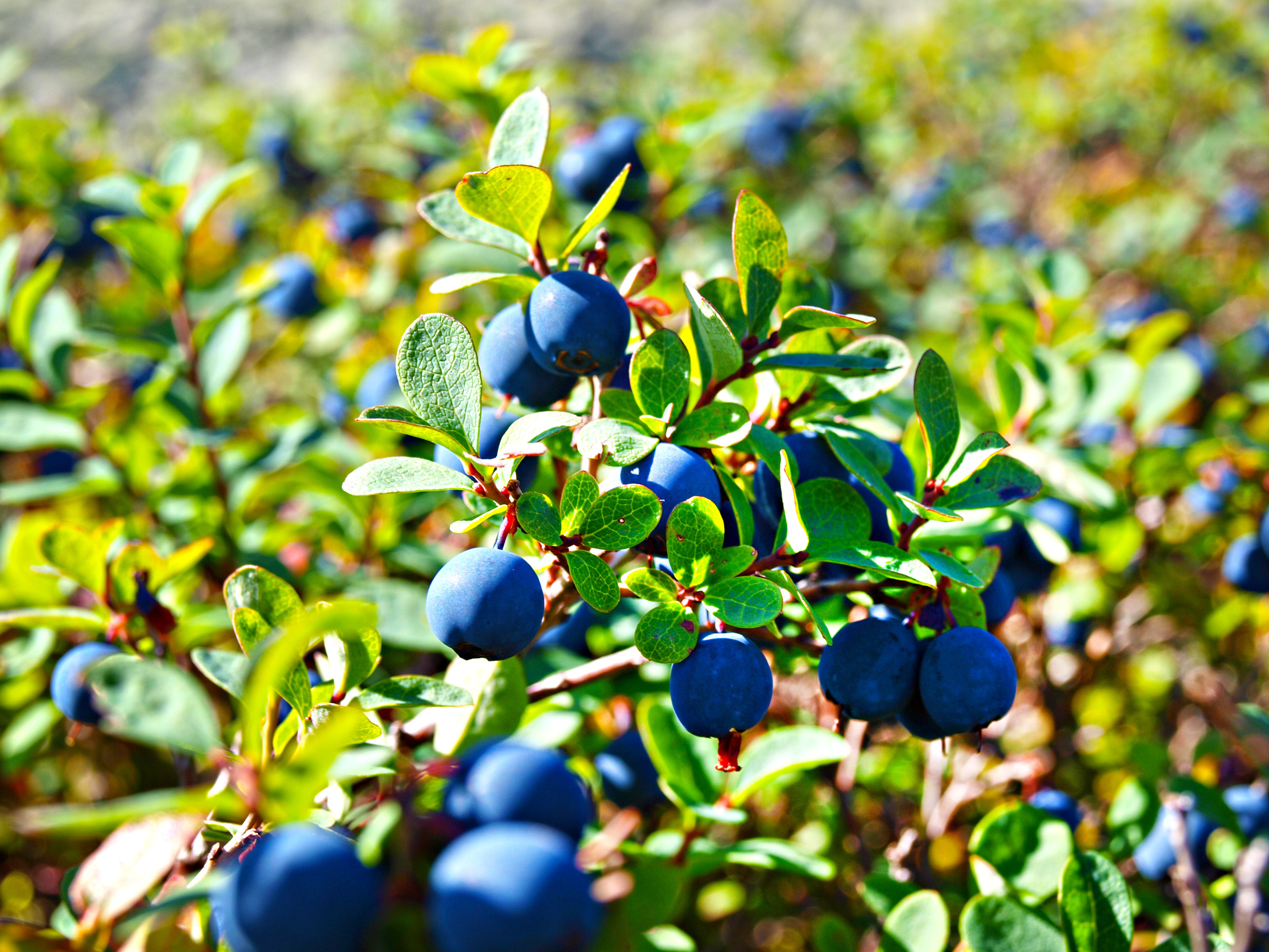 How Do Blueberries Grow Countryside
