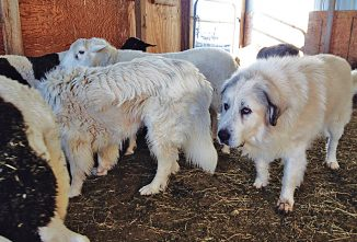 The Care of Aging Guardian Dogs