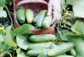 How Do Your Cucumbers Grow?