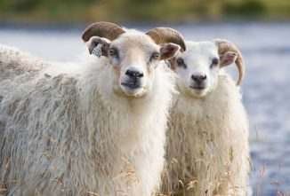 Cherishing the Natural Beauty of Icelandic Sheep