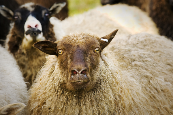 Dairy Sheep – Consider Icelandic Sheep