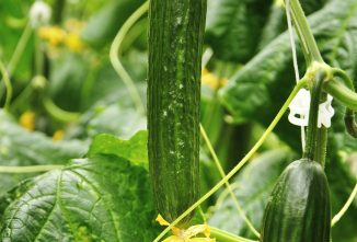 Growing Cucumbers in a Greenhouse