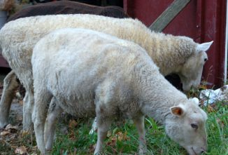 How to Shear a Sheep and Other Fiber Animals