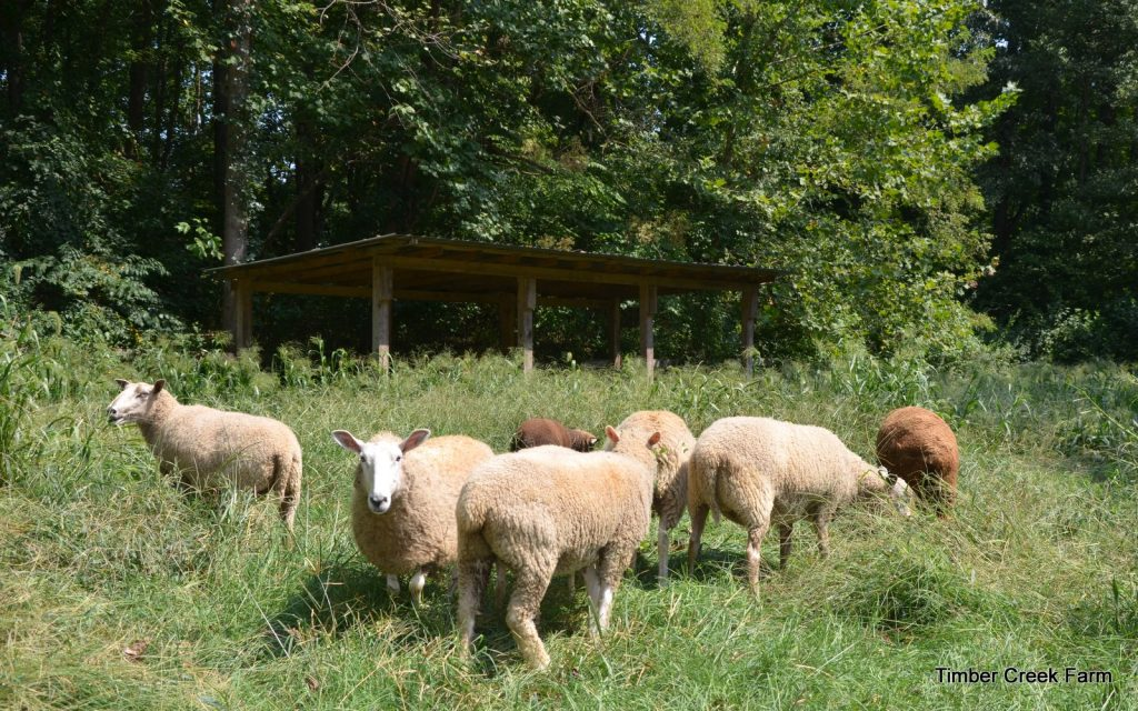 what-to-feed-sheep