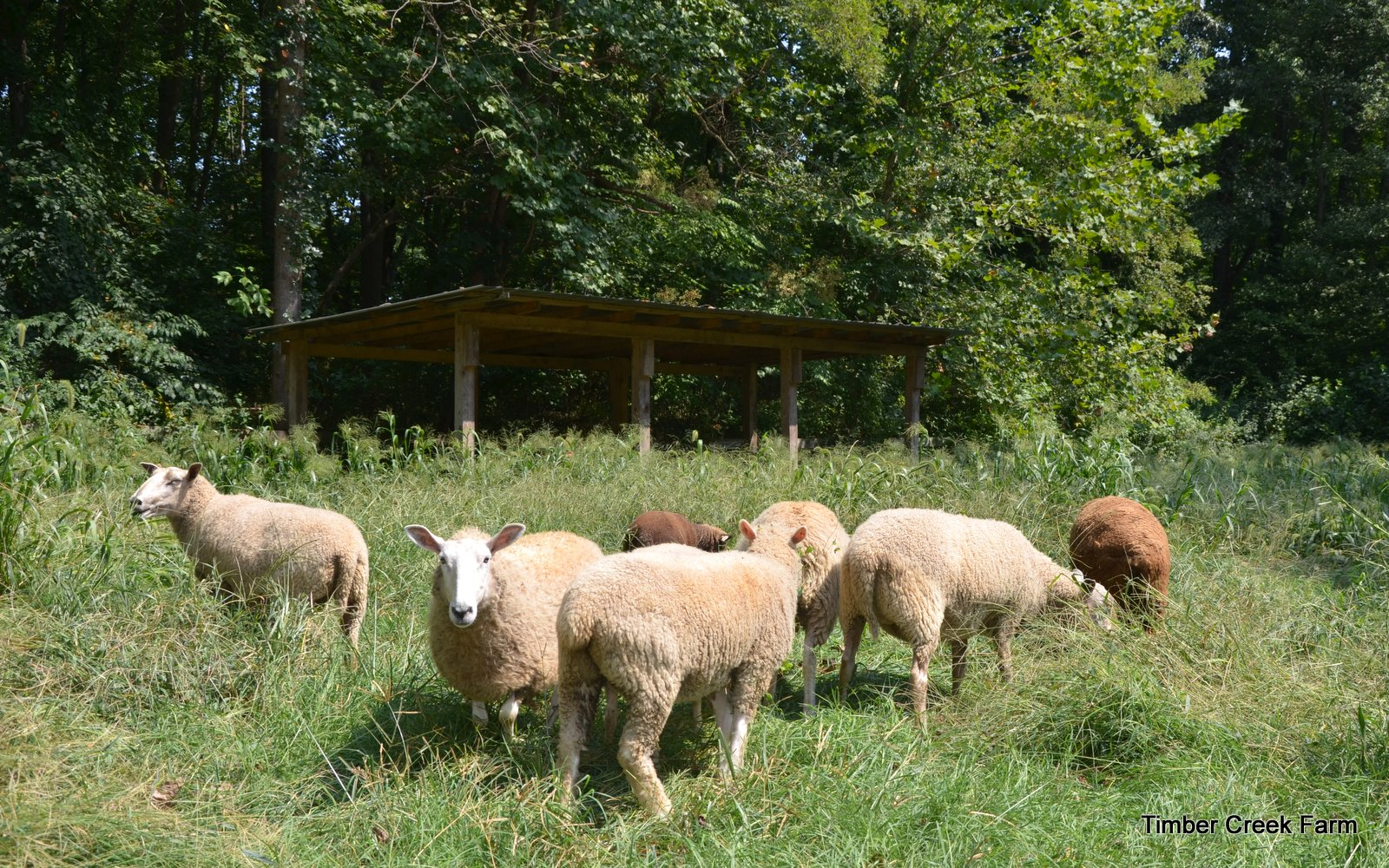 Sheep Breeds for Fiber, Meat, or Dairy - Countryside