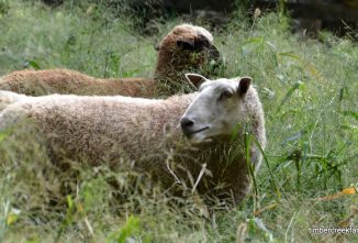 Wool-Yielding Animals for Yarn and Fiber