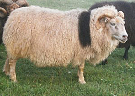 Dead Ram Walking: Treating Sick Sheep Symptoms