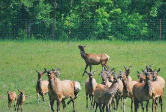 Raising Elk Provides Something For Everyone