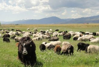 Raising Sheep for Meat – Flavor-Based Success