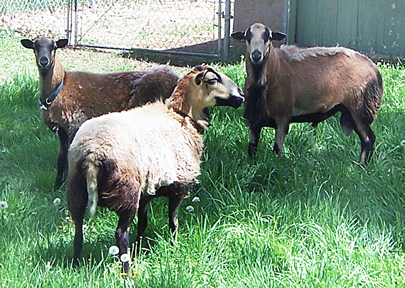 barbados-blackbelly-sheep