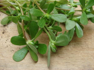 purslane-benefits