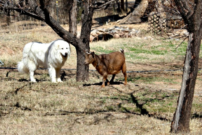 Is a Livestock Guardian Dog the Right Choice?
