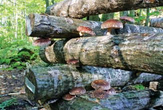 Growing Shiitake Mushrooms on a Log