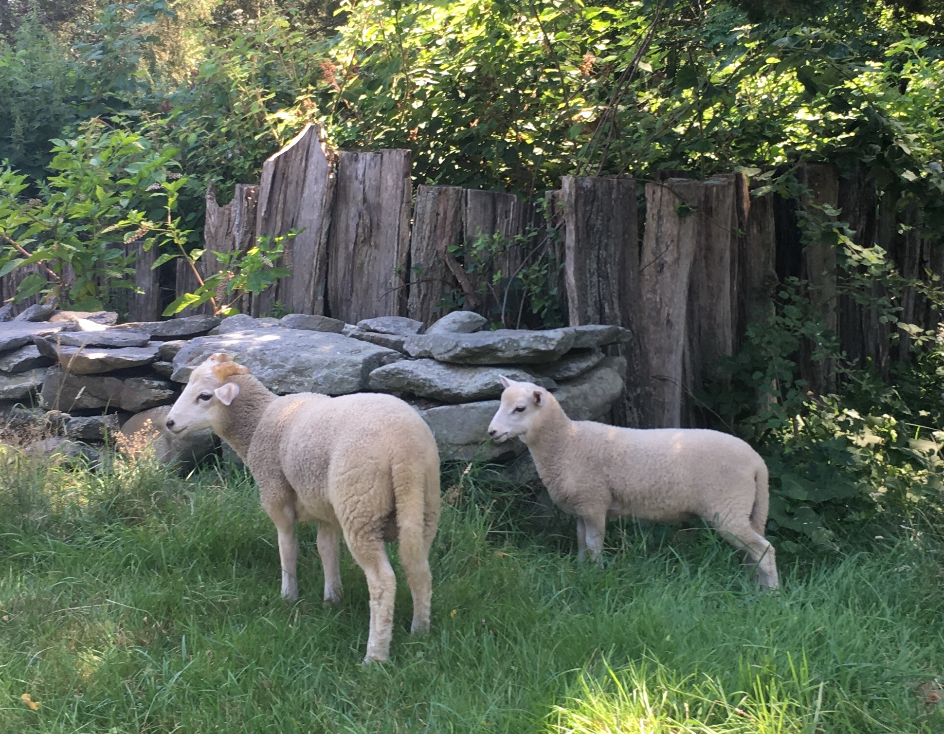 5 Critical Sheep Breeds for the Homestead - Countryside
