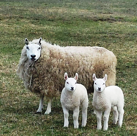 Classic Cheviot Sheep