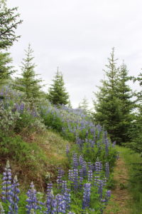 Sólheimar hiking trails offer a chance to see beautiful wildflowers such as lupines.