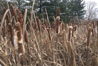 Cattails: A Useful Pond Plant