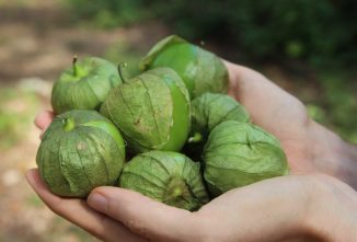 Growing and Cooking Tangy Tomatillos