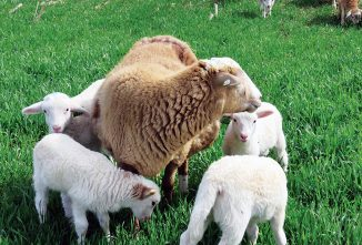Inborn Worm Resistance In Lambs: How To Breed For It