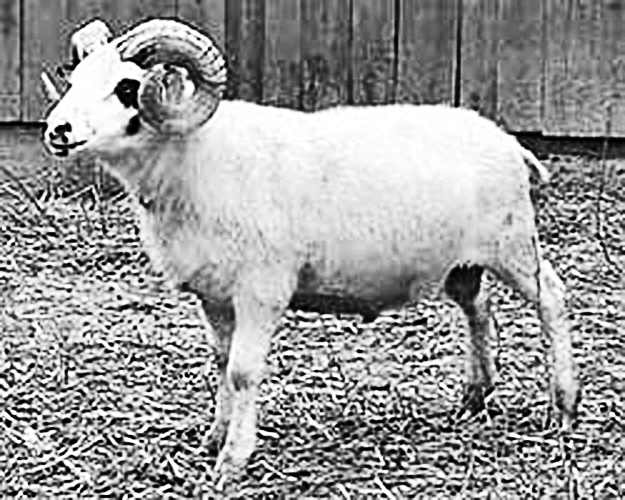 Are Rams Dangerous? Not With Proper Management  - Countryside