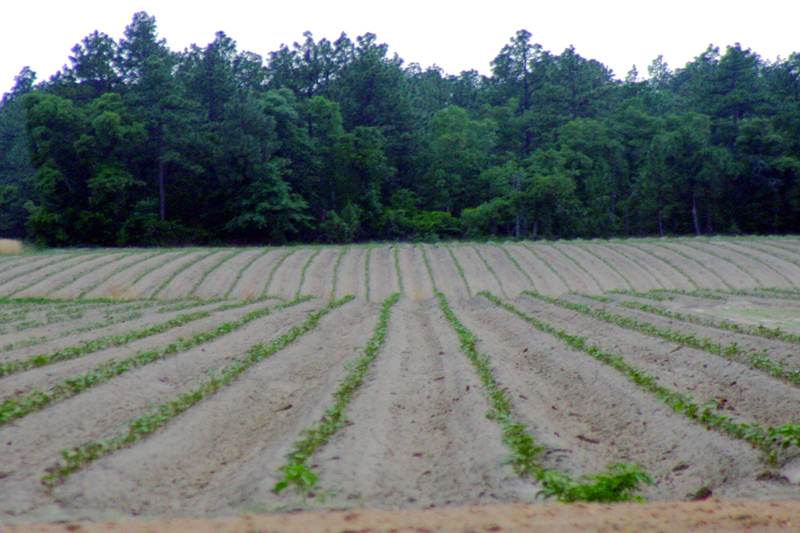 Potatoes Offer Healthy Sustainability