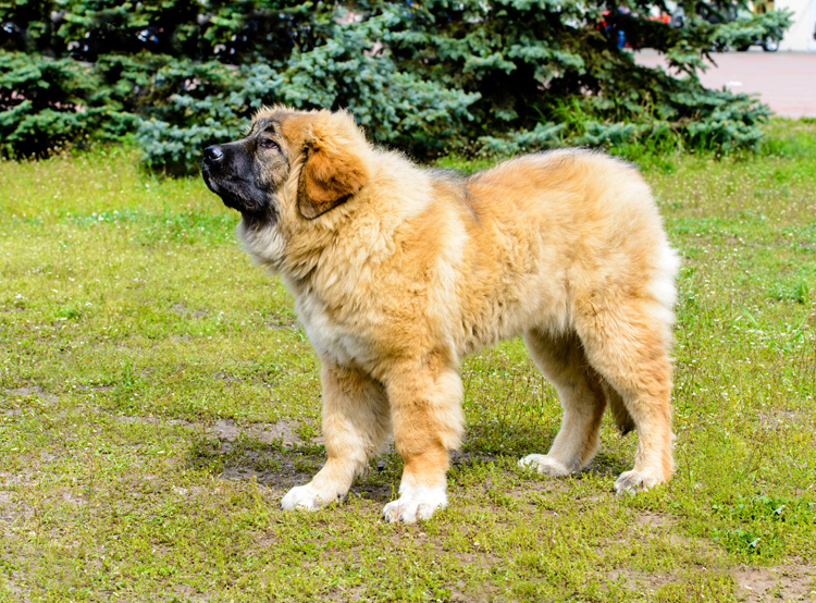 Preventing Unwarranted Aggression in Livestock Guardian Dogs