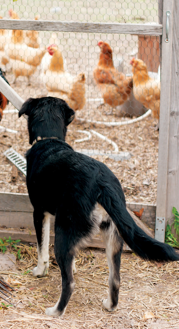 Protect Your Poultry With Livestock Guardian Dogs