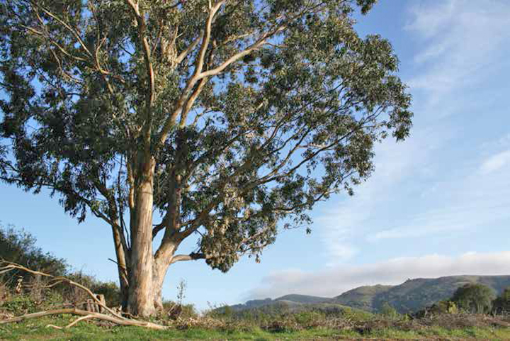 Protesters And The Eucalyptus Trees