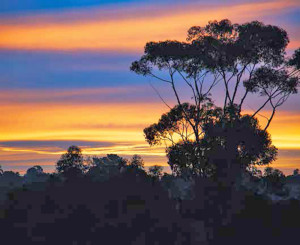The sun sets behind a eucalyptus tree in California.
