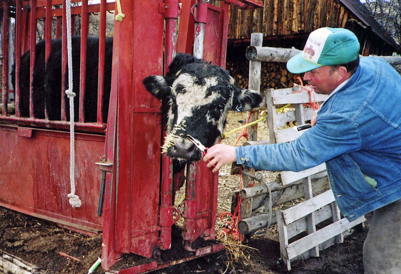 Removing Porcupine Quills From Cattle