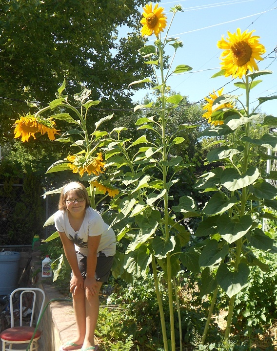 growing-sunflowers-from-seed