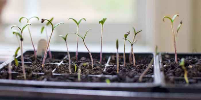 Important Factors that Affect Growing Tomatoes from Seed
