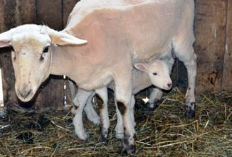 Shed or Pasture Lambing