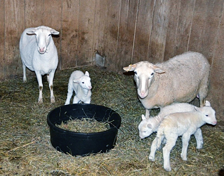 Shed and Pasture Lambing