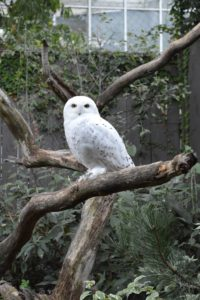 Snowy Owl courtesy of National Aviary