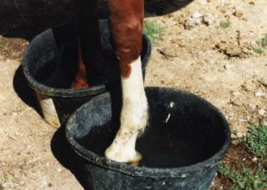 horse-hoof-abscess-treatment