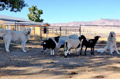 Prepare Livestock Guardian Dogs For Summer