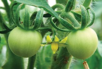 The Long Keeper Tomato