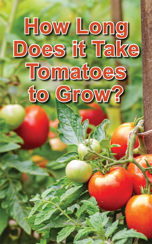 how-long-for-tomatoes-to-grow