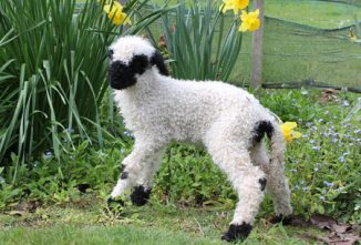 Valais Blacknose Coming to the U.S.