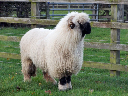 Valais Blacknose Coming to the U S  - Countryside