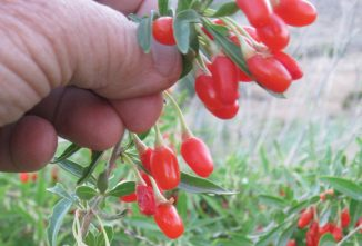 The Goji Berry Plant: Grow the Alpha Superfood in Your Garden